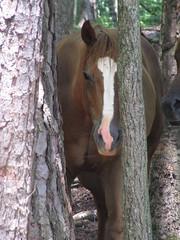 Hiding (horses merci) Tags: ranch trees summer horse sunlight closeup woods head heat chestnut hiding peeking shady blazeface
