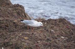 Black-headed Gull - 4 (tame_alien) Tags: uk england seaweed bird animal unitedkingdom waterbird ventnor isleofwight seabird blackheadedgull aquaticbird