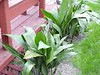 "Aspidistra • <a style=""font-size:0.8em;"" href=""http://www.flickr.com/photos/101656099@N05/9733562057/"" target=""_blank"">View on Flickr</a>"