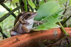 mating four-lined treefrogs 20130911-_MG_0027 (shirl6900) Tags: nature animal singapore amphibian greatnature polypedatesleucomystax fourlinedtreefrog