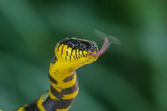 Banded Krait (Erik Uebel) Tags: travel nature animal thailand asia beautifulmonsters