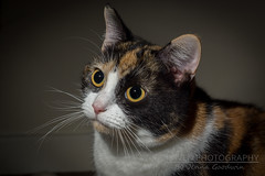 Minerva, my beautiful rescue cat (Raven Photography by Jenna Goodwin) Tags: light rescue animal cat 50mm prime eyes kitten minolta flash tortoise shell kitty 17 minerva rs strobe flickrfriday a65 purebeauty