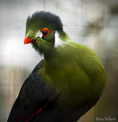 africa uk greatbritain blue red portrait white mountain macro green bird nature animal wales zoo bay interestingness nikon close britain african wildlife sudan great conservation explore turaco tropical welsh d200 ethiopia captive avian captivity eritrea flintshire colwynbay welshmountainzoo colwyn cheeked nikond200 explored