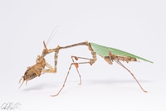Sibylla pretiosa (pullchris) Tags: macro nature animal studio mantis insect nikon eating cricket predator invertebrate arthropod sibylla pretiosa