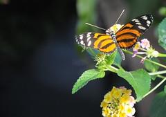 蝴蝶,蝴蝶,生得真美麗 (wmacgyver) Tags: columbus ohio nature butterfly nikon franklinconservatory bloomsandbutterflies nikond300s