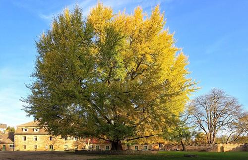 Ginkgo-Baum im Hof von Schloss Goseck