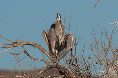 Meditating Great Blue Heron?