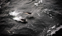 Right whale dolpins (Jameskye) Tags: travel nature water argentina wildlife dolphins fastshutter