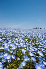 Spring In Hitachi Seaside Park (aeschylus18917) Tags: blue flower nature japan   ibaraki babyblueeyes nemophilamenziesii boraginaceae hitachinaka ibarakiken     hitachinakashi 1424mm hydrophylloideae hitachiseasidepark danielruyle aeschylus18917 danruyle druyle   kokueihitachikaihinken