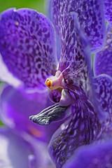 Purple Passion (sjnewton) Tags: uk flowers england kewgardens london fauna spring nikon purple bee 2015 d600 105mmf28dmicro orchidexhibition