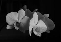 Feminin (Annica Spjuth) Tags: blackandwhite feminin whiteorchid vitorkidé fotosondag femininflower fs150308