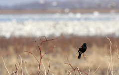 Posing With Snow Geese Bokeh (jrussell.1916) Tags: nature birds bokeh wildlife migration redwingedblackbirds snowgeese canon400mmf56lusm squawcreeknationalwildliferefuge