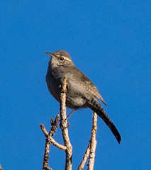 Bewick's Wren (ccbird1) Tags: wren nm wr thryomanesbewickii bewr bewisks