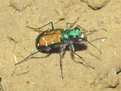 Cicindela splendida x denverensis (tigerbeatlefreak) Tags: bug insect tiger beetle x splendida cicindela denverensis