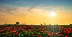 600 - Marigold Land (ArvinderSP) Tags: trees sunset india field clouds photography 600 marigold lanscape newdelhi naturephotography arvindersingh arvindersp arvinderspcom marigoldland
