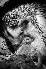 Mother and baby hedgehogs (dareangel_2000) Tags: arkopenfarm dariacasement openfarm conlig bangor northernireland hedgehog babyhedgehog farm animals hoglet hoglets erinaceidae spike