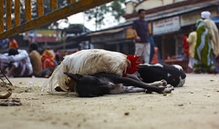 Chicken and a Dog (sparksy2k14) Tags: dog india chicken canon eos market delhi 5d