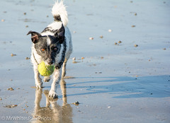 """""""West Wittering Beach"""" """"West Sussex"""" (Mr Whites Paw Prints) Tags: dog westsussex running jackrussell nibbler westwitteringbeach"""