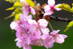 (nomachishinri) Tags:  sakura