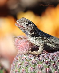 Blue bellied lizard on a small cactus (Victoria Morrow) Tags: