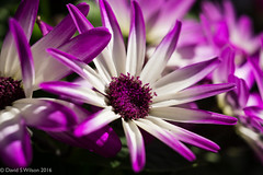 Purple Streak (David S Wilson) Tags: uk flowers england flower fens flowersplants 2016 davidswilson sonysel50f18 sonya5100 adobelightroom6