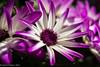 Purple Streak (David S Wilson) Tags: uk flowers england flower fens flowersplants 2016 davidswilson sonysel50f18 sonya5100 adobelightroom6