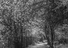 Through the Wooded Path - Hatfield May 2016 (GOR44Photographic@Gmail.com) Tags: wood trees bw white black fence mono path hatfield fujifilm xf1 gor44