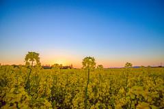 0016 (mikikkkeee) Tags: blue light sunset red sky orange sun flower macro field weather yellow canon lens landscape photo spring image good great rape clear 70d