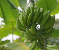 11-070505 Spanien 2 015-001 (hemingwayfoto) Tags: andalusien banane costadelsol frucht hotelpuenteromana luxushotel marbella mittelmeer natur obst park pflanze radtour reise spanien unreif