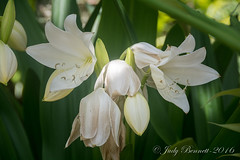 2016_StPete__DSC2552 (jben1022) Tags: stpetersburg gingerlily floridabotanicalgardens