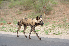 wild-dog-dic.2015_2257b (Marco Pozzi photographer (750k+ views, thanks)) Tags: africa southafrica krugernationalpark kruger pozzi wilddog sudafrica specanimal licaone marcopozzi marcopozziphotographer