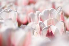 Delicate Beings (preze) Tags: pink white plant flower nature petals flora soft tulips blossom outdoor natur pflanze rosa sunny flowerbed dreamy delicate blume blte sonnig bltenbltter gentle tulpen schrfentiefe tulipan zart freundlich weis blumenbeet britzergarten heiter canoneosm3 efm55200 britzgarden