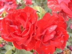 Fulminante (0_Detalles_0) Tags: light red flower color colour luz rose petals rojo soft flor rosa textures radiant texturas ptalos suaves radiante