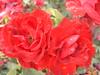 Fulminante (0_Detalles_0) Tags: light red flower color colour luz rose petals rojo soft flor rosa textures radiant texturas pétalos suaves radiante
