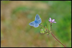 DSB_7913-05-12-p-1_f - Polyommatus icarus (r.zap) Tags: polyommatusicarus farfalle parcodelticino rzap