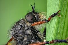 Alabasterfliege (Pamponerus germanicus) Raubfliege (AchimOWL) Tags: macro animal insect lumix tiere outdoor wildlife ngc stack panasonic makro insekt tier fliege schrfentiefe gx8 raubfliege zweiflgler postfocus