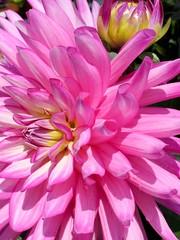 IMG_3375 (Elsa Blaine) Tags: dahlia flower closeup gardening flowerbud pickflower