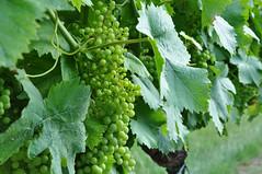 Ruppersthal Weinviertler Wagram DSC_0382 (reinhard_srb) Tags: up close wagram trauben weinbltter weinviertler ruppersthal