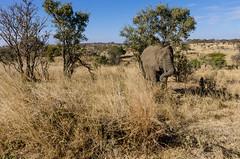 elephantastic (sixthofdecember) Tags: africa travel trees elephant tree nature grass sunshine animal animals tanzania outside outdoors nationalpark nikon sunny safari elephants grassland tamron tarangire tarangirenationalpark tamron18270 nikond5100