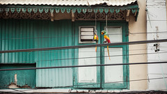 Thailand - Fake parrots (Cyrielle Beaubois) Tags: thailand asia fake thalande asie southeast parrots 2015 canoneos5dmarkii cyriellebeaubois