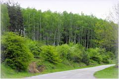 (Stella VM) Tags: trees mountain green forest landscape spring bulgaria birches vitosha
