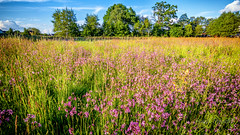 Flowers in the fields (strack_frank) Tags: trees field landscape feld meadow wiese wolken samsung blumen landschaft bume baum nx30 sasbachried