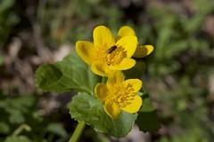 Marsh Marigold (Caltha palustris) (piazzi1969) Tags: flowers yellow canon germany bavaria eos 5d sumpfdotterblume marshmarigold kreuzeck markiii ef100mm
