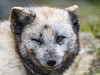 Winking polar fox (Tambako the Jaguar) Tags: winking closedeye portrait funny lying face polarfox fox white beige zoo dählhölzli tierpark bern berne switzerland nikon d5