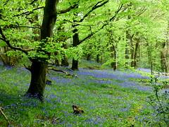 bluebells at Ynys Hir (Sue Wolfe) Tags: flowers nature birds wales landscapes westwales wildlife cymru wildflowers ceredigion montgomeryshire meirionnydd dyfiestuary dyfi dysynni dysynnivalley welshwildlifebreaks dyfibiosphere dyfiospreyproject