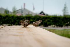 Why the birds... (livio.luca) Tags: wood holland bird nature birds animal animals europe marken