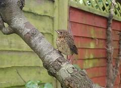 Baby robin (rjmiller1807) Tags: june 2016 baby bird robin fluffy wildlife nature aves avian babybird babyrobin cute tree branch