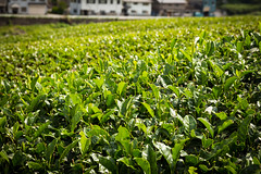 Tea fields in Wazuka, Japan (Christian Kaden) Tags: japan kansai pflanze pflanzen plant rotenen tea teaplant teaplantation tee teepflanze teeplantage wazuka offenesteefeld openteafield