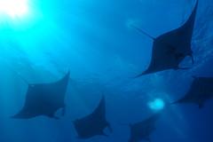 Diving with Mantas (Corey Hamilton) Tags: bali diving scubadiving nusapinada