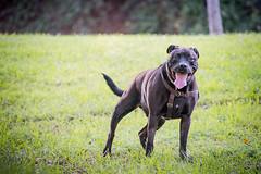 DSC_4192 (lauripiper) Tags: california park portrait woman dog girl mutt rottweiler pitbull amstaff americanstaffordshireterrier nikond810